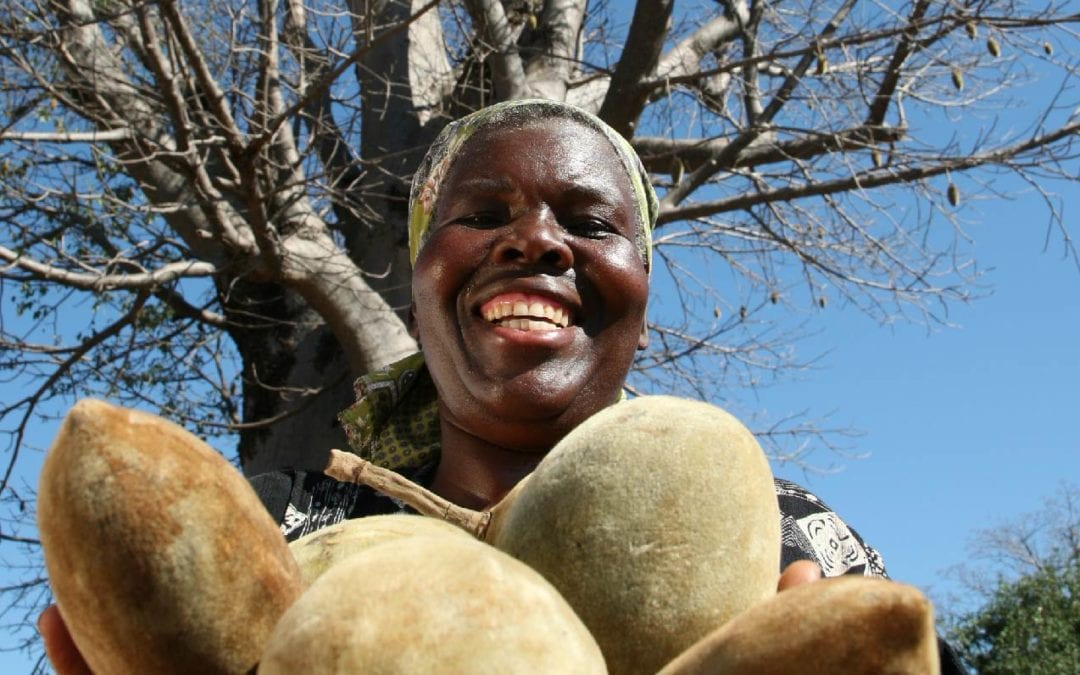 A look at our super fruit producing Baobab trees